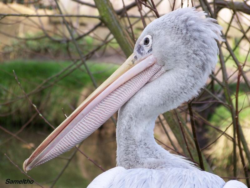 Le pelican gris (Pelecanus rufescens) 100_1010