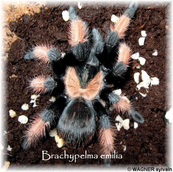 Fiche d'élevage Brachypelma emilia Emilia10
