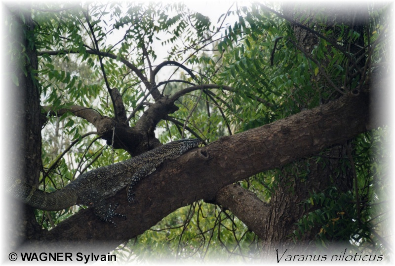 Varanus niloticus Varanu10