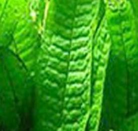 Fougère de java ou echinodorus africanus ( épée afficaine ) Micros10