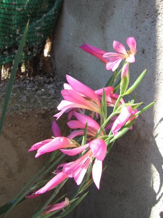 Gladiolus communis subsp. byzantinus Img_0023