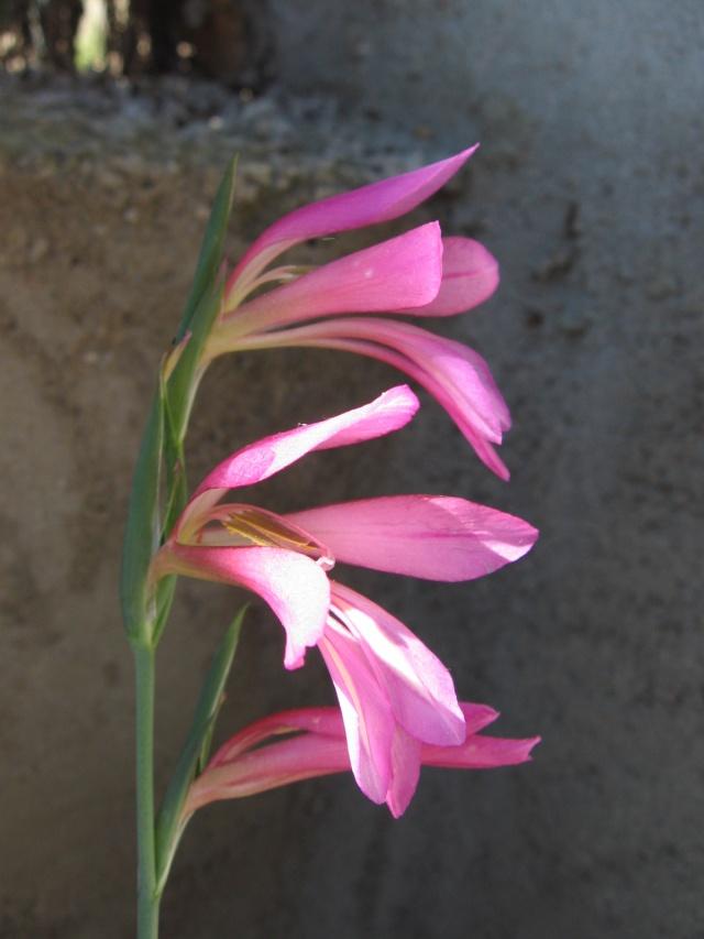 Gladiolus communis subsp. byzantinus Img_0024