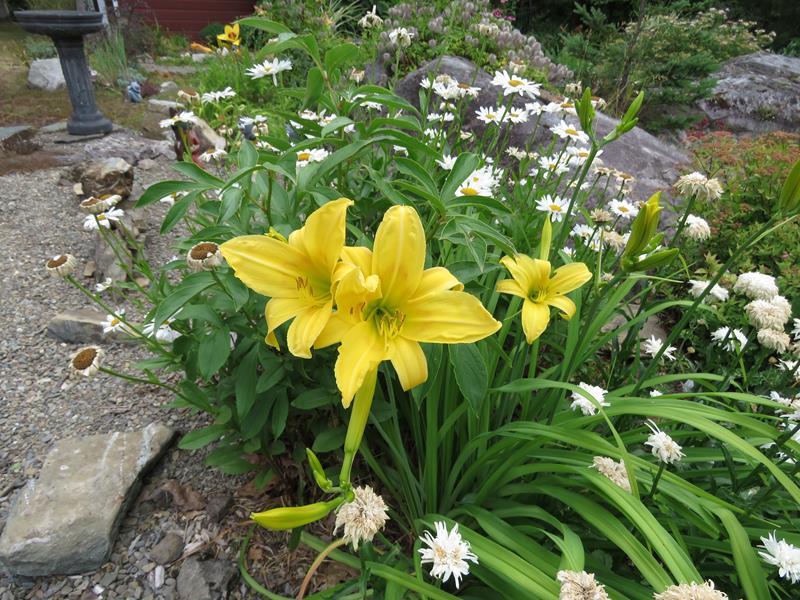 Hemerocalle jaune tardive classique *trouvé: Hyperion Hemero13