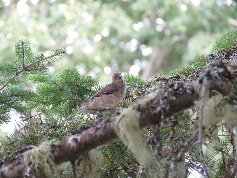 Petit oiseaux à identifier  Img_2213