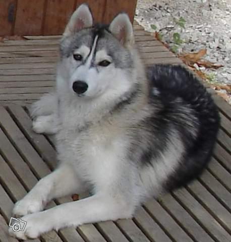 URGENT AÏTA  femelle husky 4ans PAR (83) ADOPTEE 43084110