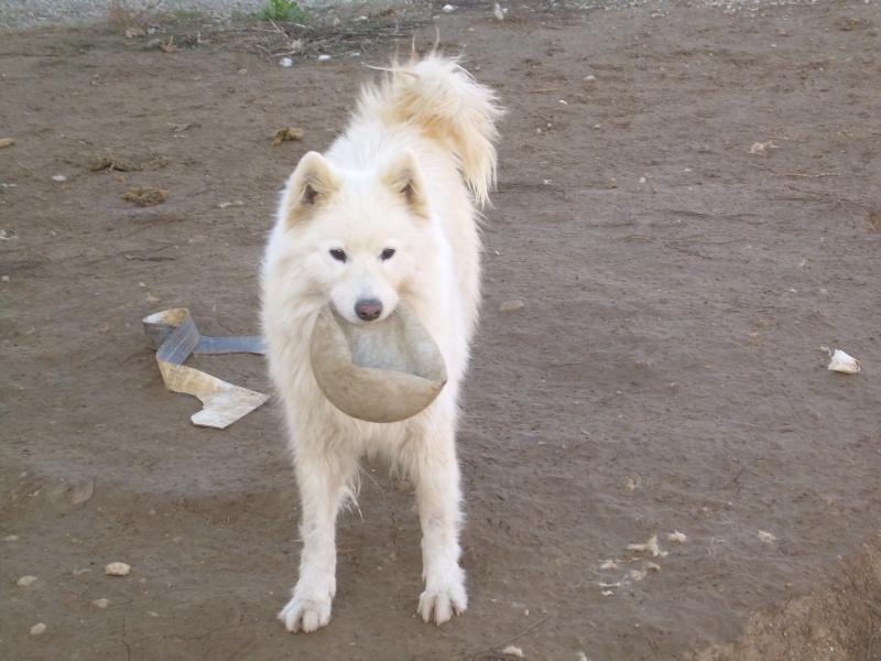Inouk, samoyède femelle de 9 ans PAR (81) Dscn2210