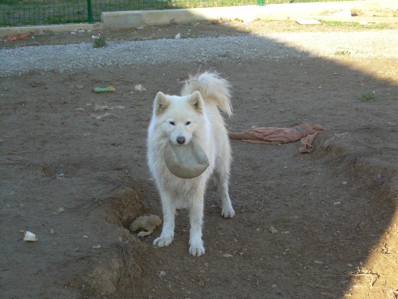 Inouk, samoyède femelle de 9 ans PAR (81) Dscn2211