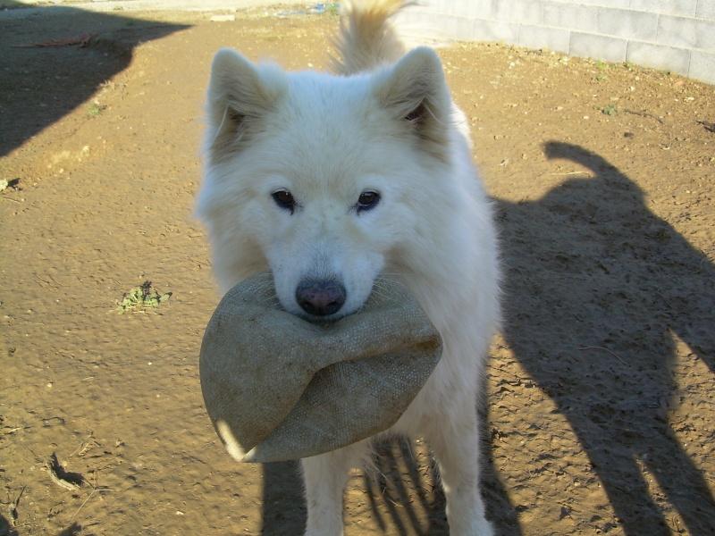 Inouk, samoyède femelle de 9 ans PAR (81) Dscn2215