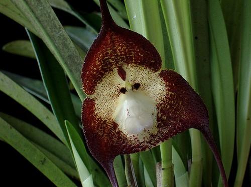 l'orchidée singe Orch-011