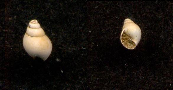 Physidae du genre Aplexa ? 110