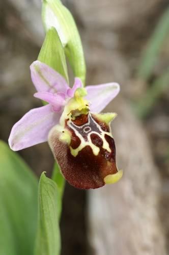 [Grèce] Ophrys de Rhodes O_epis10