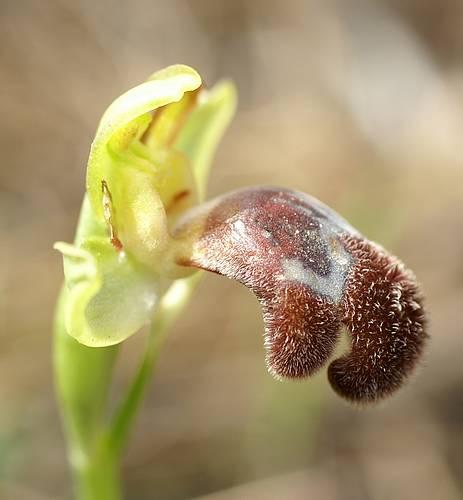 [Grèce] Ophrys de Rhodes Omegai10