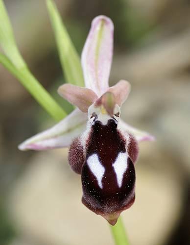 [Grèce] Ophrys de Rhodes Reinol10