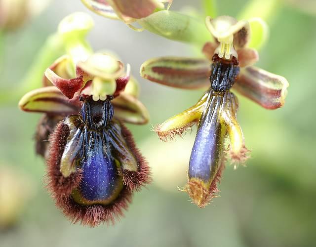 [Grèce] Ophrys de Rhodes Specul10