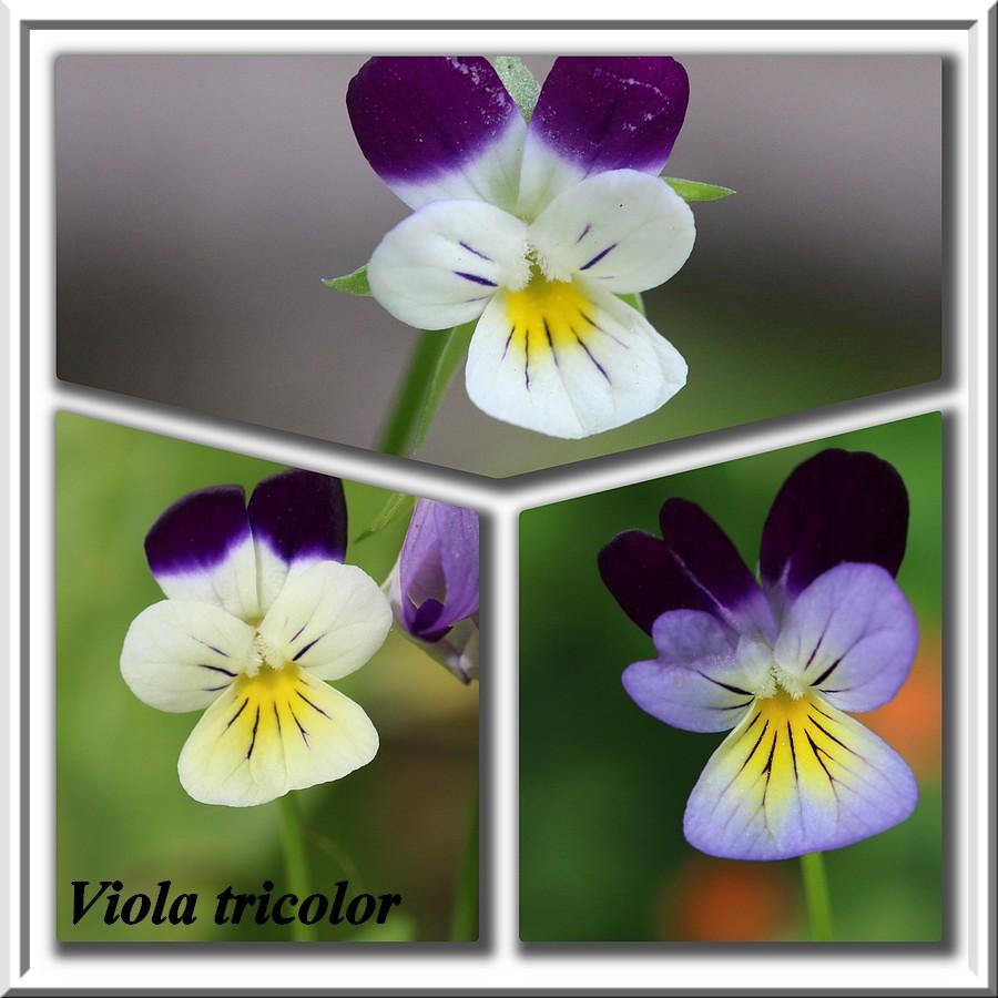 Petit coucou de Bretagne Viola_10