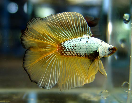 Double tail Red Dragon Gold BF Easter10