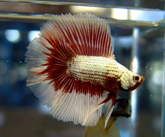 Double tail Red Dragon Gold BF Fwbett10