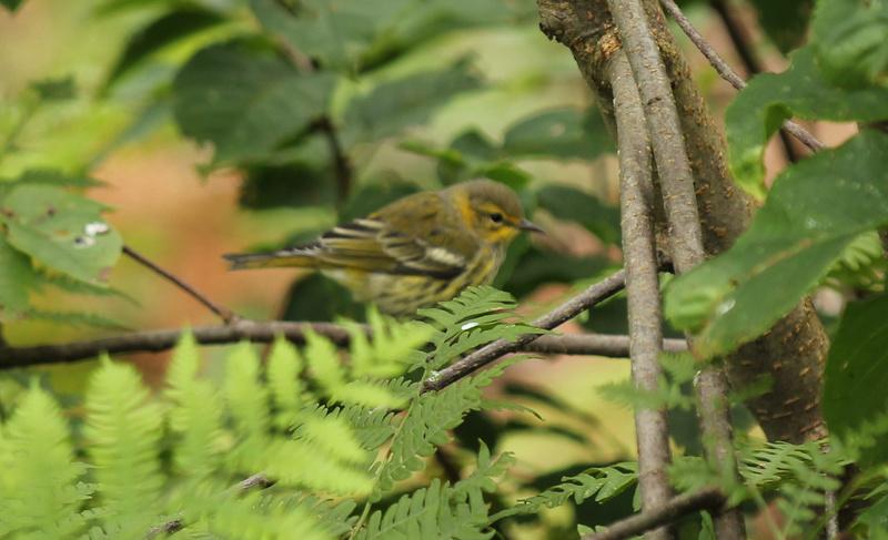 arrivée de plusieurs petits oiseaux, Parulines... Img_3410
