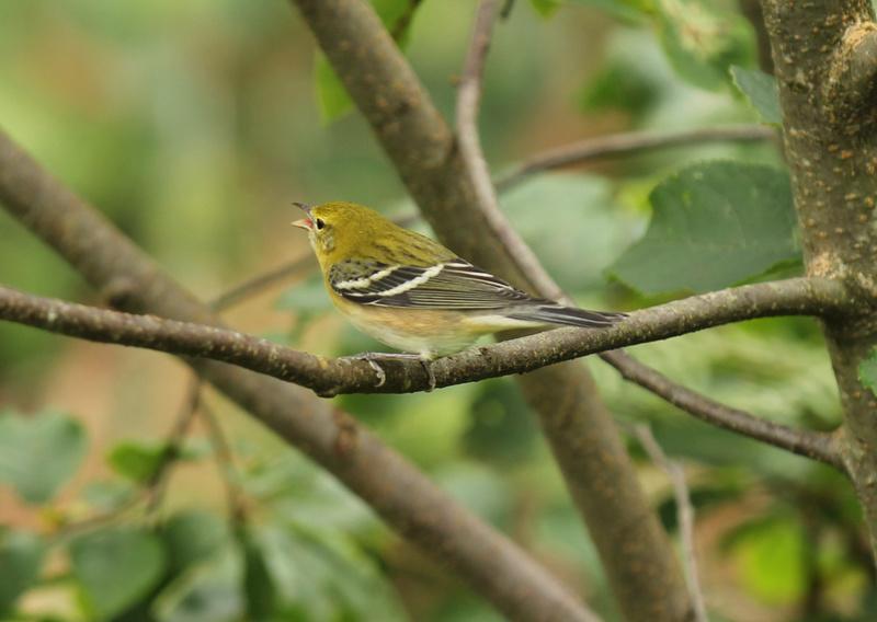 arrivée de plusieurs petits oiseaux, Parulines... Img_3510