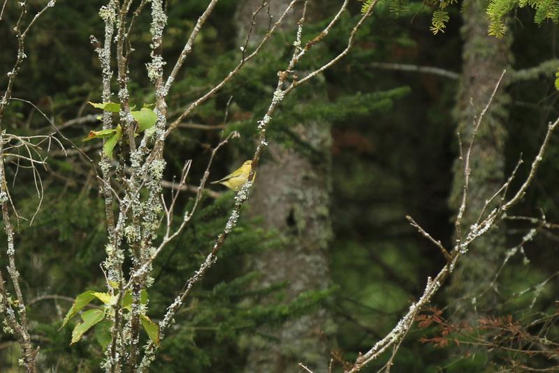 arrivée de plusieurs petits oiseaux, Parulines... Img_3511