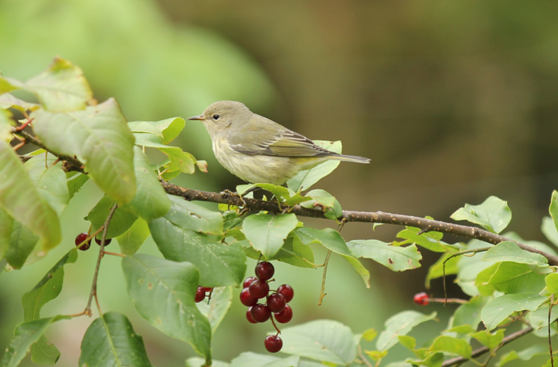arrivée de plusieurs petits oiseaux, Parulines... Img_3512