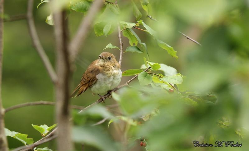 arrivée de plusieurs petits oiseaux, Parulines... Img_3513