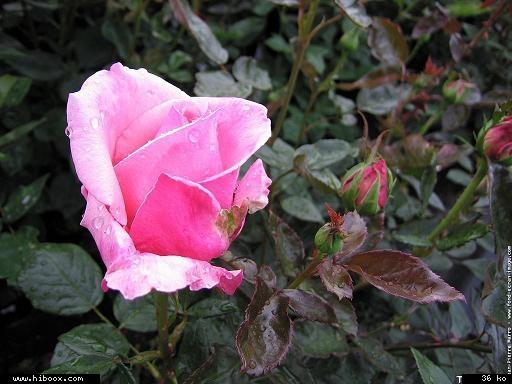 Les roses. - Page 7 E6d7c010