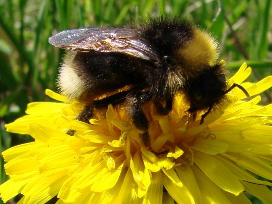 Les abeilles. Pissen10