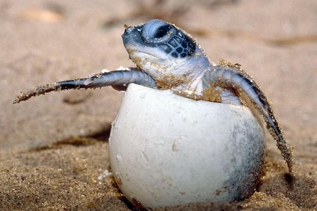 Les tortues. Tortue12