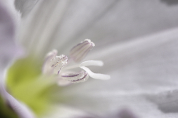 Fleur de liseron Lisero10