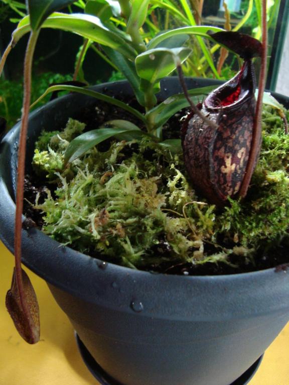 Plantes carnivores  Dsc00012