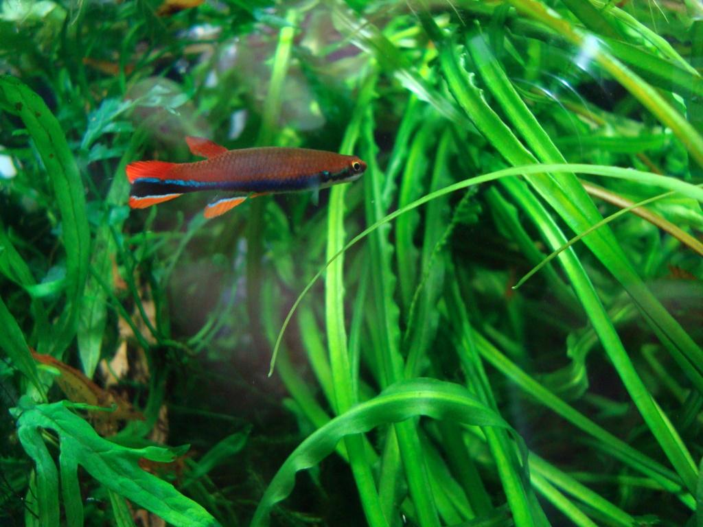 Recueil de photo aquariophiles de qualités Dsc00312