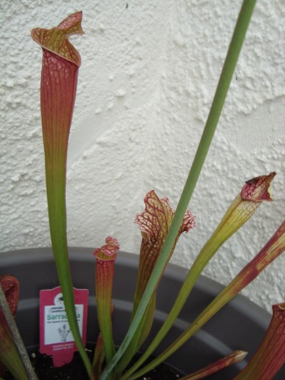 Plantes carnivores  Dsc00712