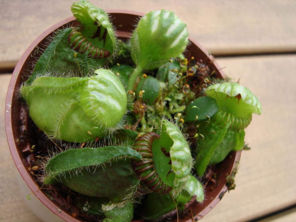 Plantes carnivores  - Page 2 Dsc02212