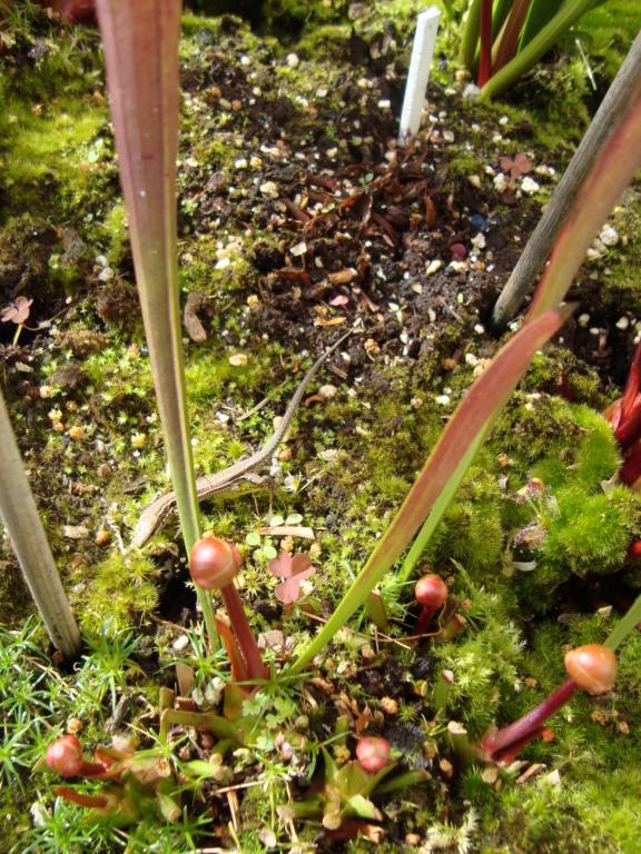 Plantes carnivores  - Page 5 Dsc03016
