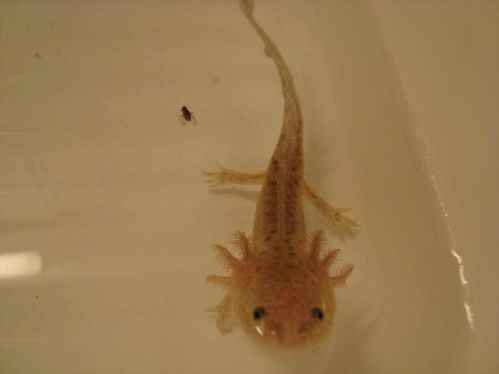 Reportage photos sur les Axolotls Dsc04811