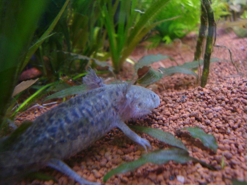 Reportage photos sur les Axolotls Dsc05110