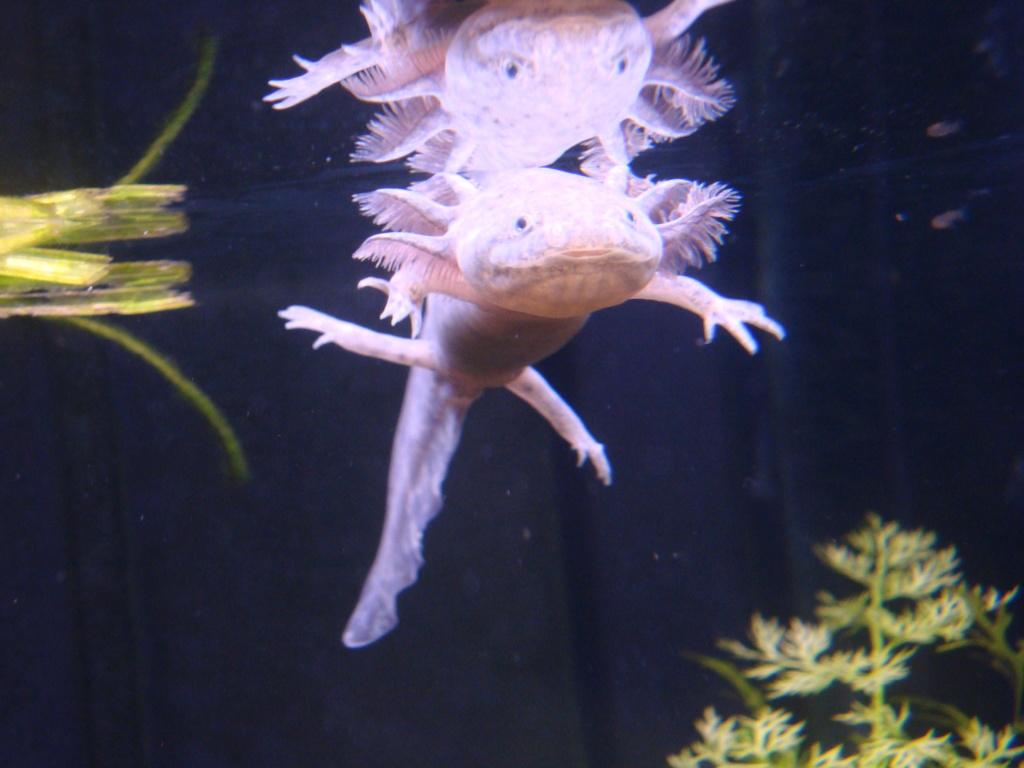 Reportage photos sur les Axolotls Dsc05411