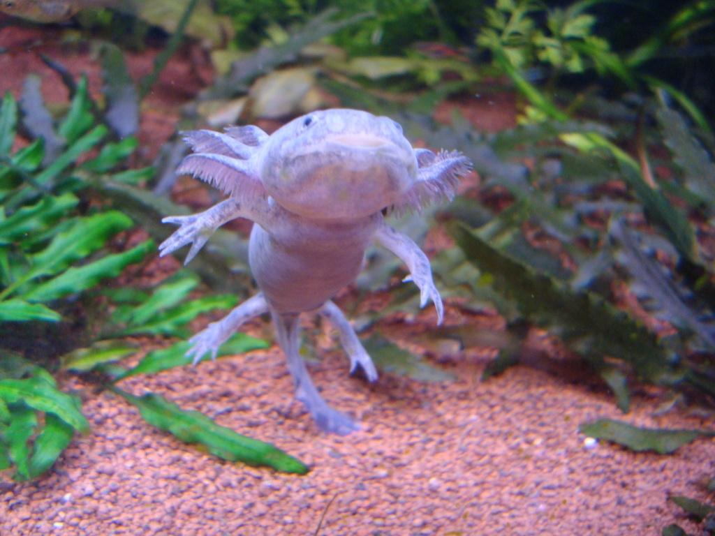 Reportage photos sur les Axolotls Dsc05412