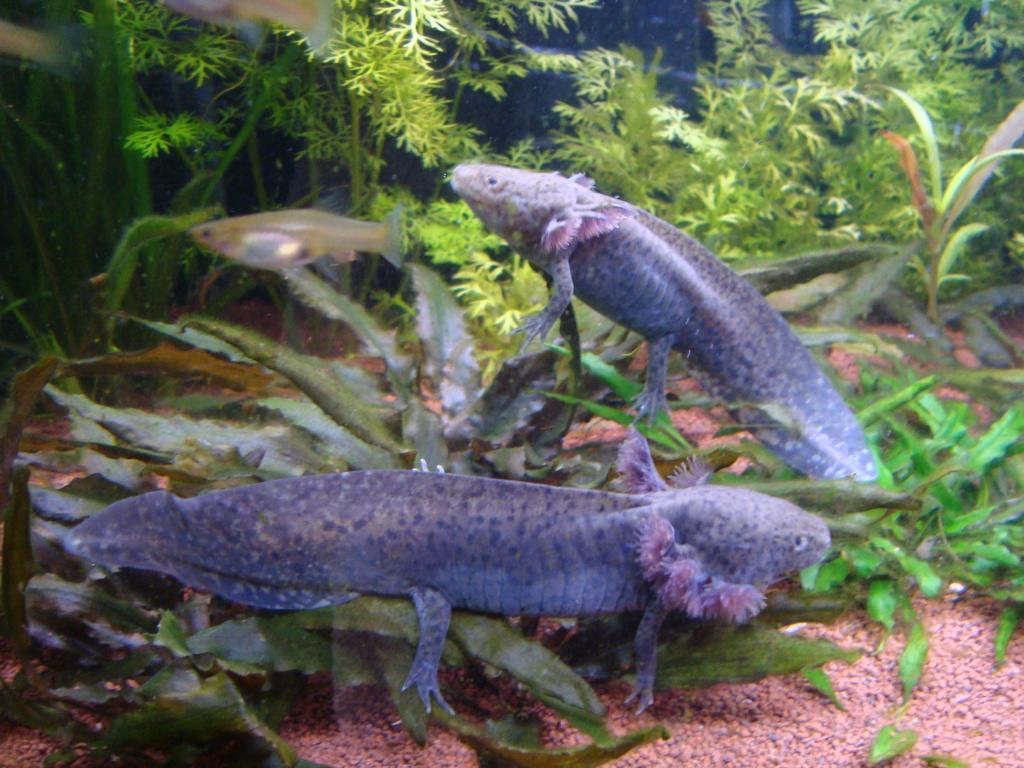 Reportage photos sur les Axolotls Dsc05812