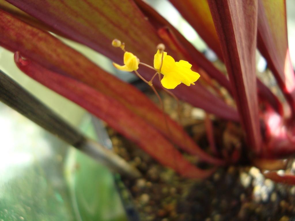 Plantes carnivores  Dsc09630