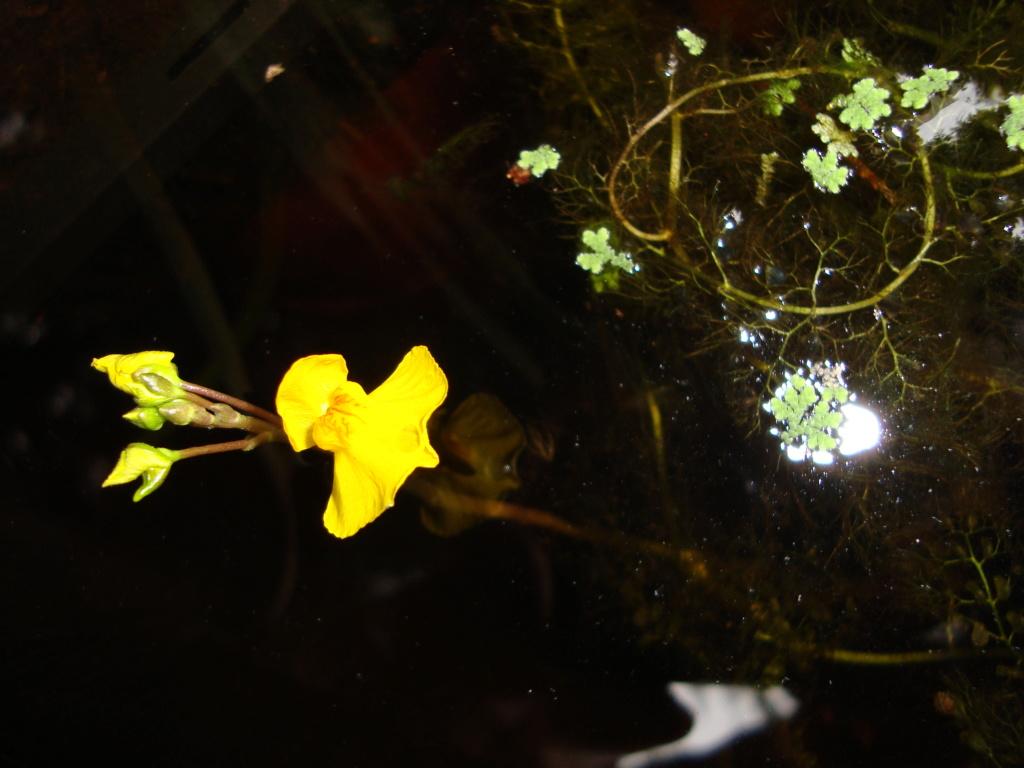 Utricularia Vulgaris Dsc09812