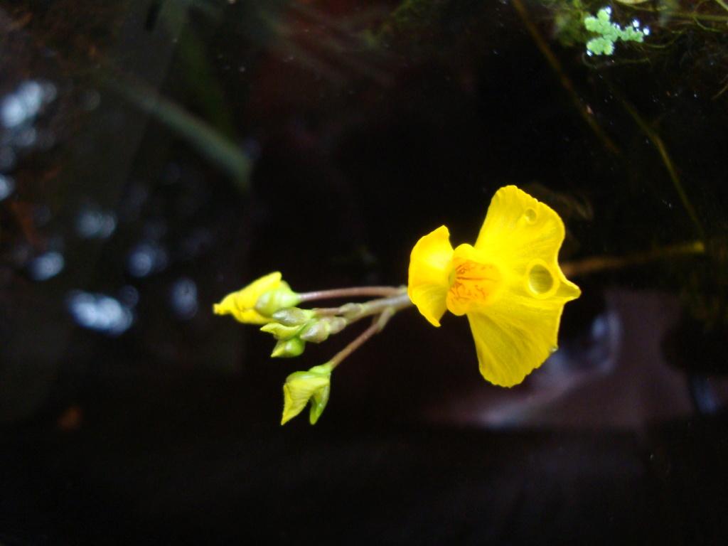 Utricularia Vulgaris Dsc09814