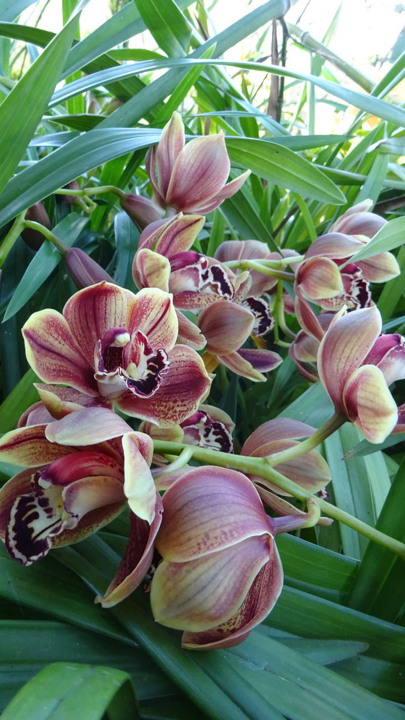 Culture Cymbidium, qui connait? Dsc07811