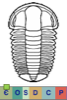 Super-famille Ellipsocephaloidea