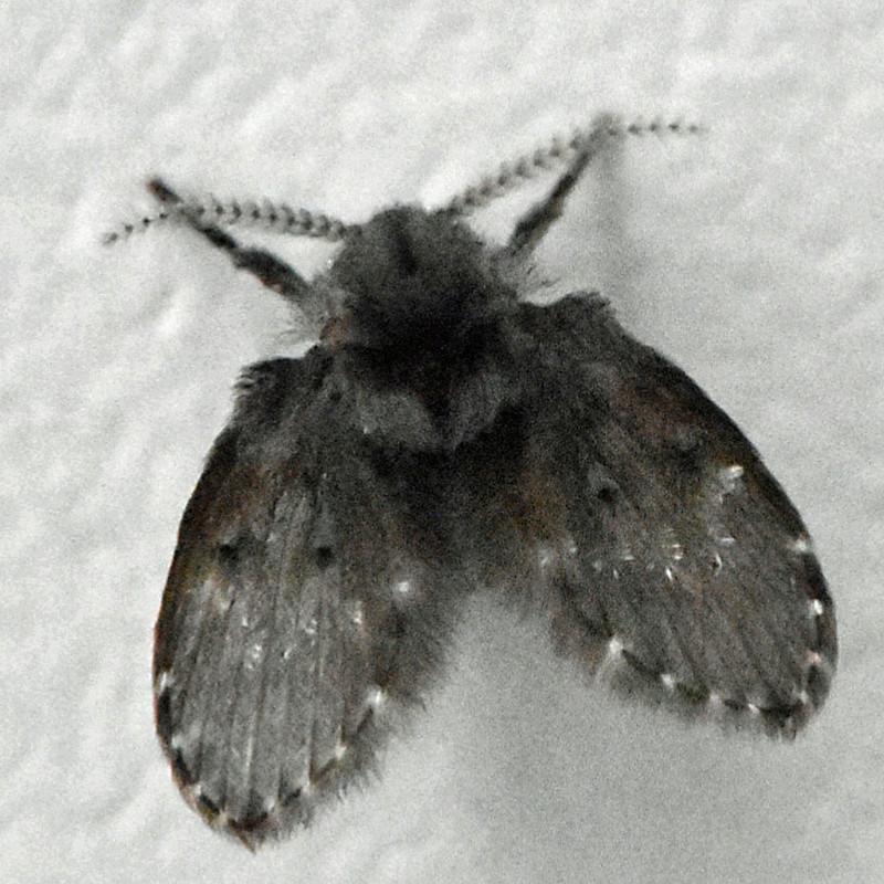Microscopique à identifier [diptère peut être Clogmia albipunctata ] Dsc_2912