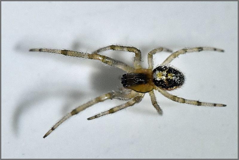 Theridiidae [Araneidae : Zygiella x-notata - Juvénile] Dsc_3211