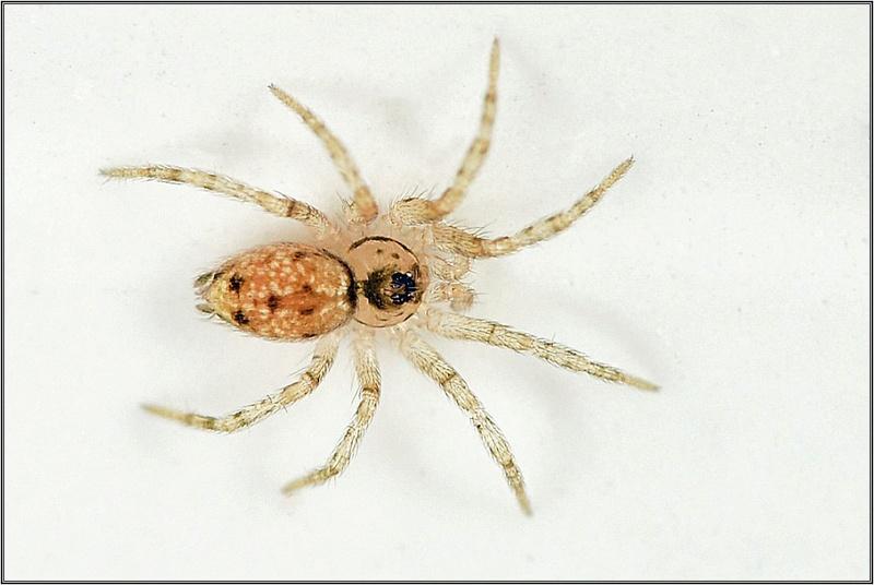 Theridion ? Non ==>[Oecobiidae : Oecobius sp.] Dsc_3411