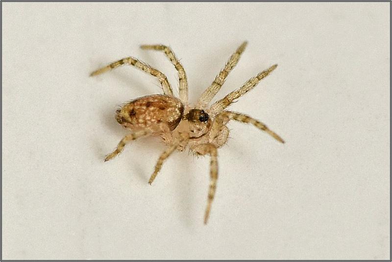 Theridion ? Non ==>[Oecobiidae : Oecobius sp.] Dsc_3412