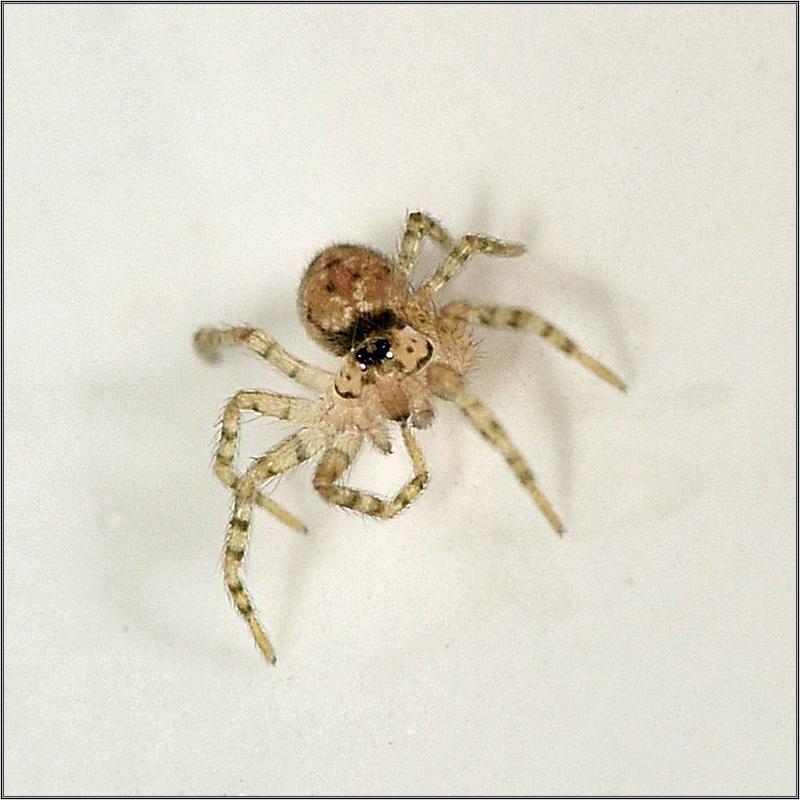 Theridion ? Non ==>[Oecobiidae : Oecobius sp.] Dsc_3413
